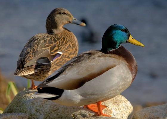 Ducks-Cornwall-Tehidy-Country-Park-Penventon-Hotel